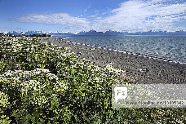 Bishops Beach With Cow Parsnip Wildflowers At Homer  Alaska