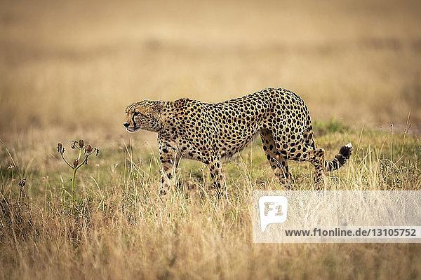 Cheetah (Acinonyx jubatus) on savannah walks through long grass  Maasai Mara National Reserve; Kenya