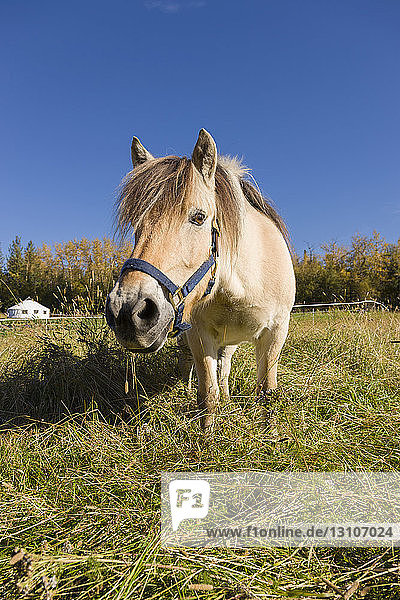 Horses stands looking at the photographer in a grassy field on a sunny day; Palmer  Alaska  United States of America