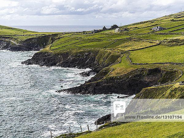 Lush bright green grass in farm fields along the rugged coastline of County Kerry; Ballyferriter  County Kerry  Ireland