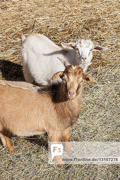 Two young goats (Capra aegagrus hircus) look inquisitively at the photographer; Palmer  Alaska  United States of America