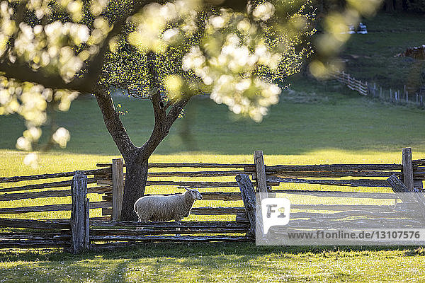 A lone sheep heads for pasture under apple blossums on the farm of Ruckle Provincial Park; Salt Spring Island  British Columbia  Canada