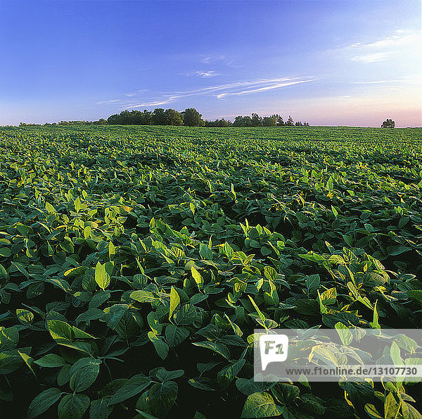 Agriculture - Field of mid growth soybeans in late afternoon light / Ontario  Canada.