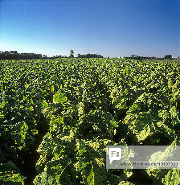 Agriculture - Large field of maturing Flue cured tobacco plants / Ontario  Canada.