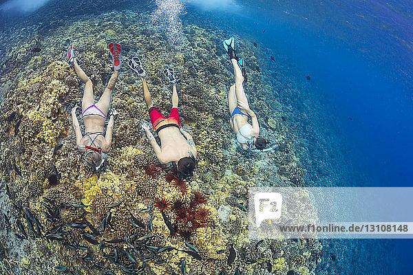Slate pencil sea urchins (Heterocentrotus mammillatus) colour the hard coral in this Hawaiian reef scene with three free divers  Molokini Marine Preserve off the island of Maui; Maui  Hawaii  United States of America