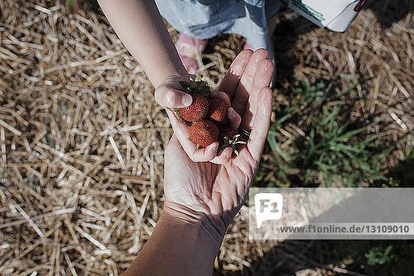 Ausgeschnittenes Bild einer Tochter  die der Mutter auf dem Bauernhof Erdbeeren gibt