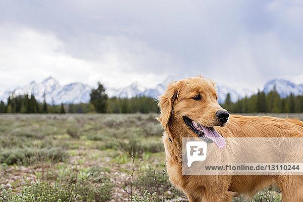 Hund streckt die Zunge heraus  während er im Winter auf dem Feld steht Hund streckt die Zunge heraus, während er im Winter auf dem Feld steht