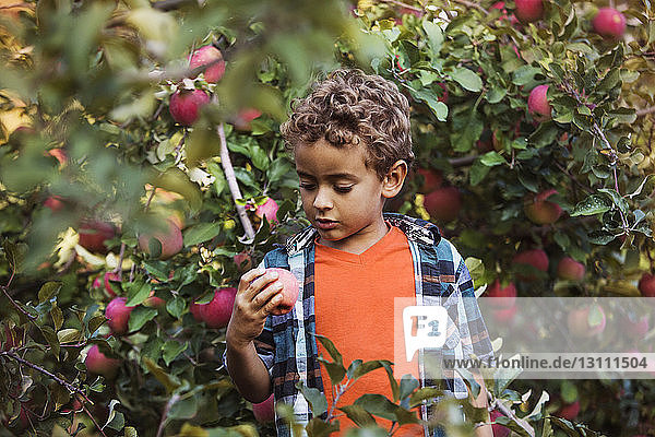 Boy holding apple while standing in orchard