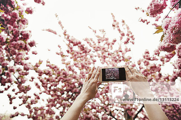 Low angle view of woman photographing flowering branches through smart phone