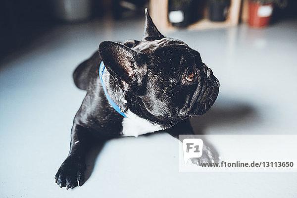 Nahaufnahme einer französischen Bulldogge  die beim Sitzen zu Hause wegschaut Nahaufnahme einer französischen Bulldogge, die beim Sitzen zu Hause wegschaut