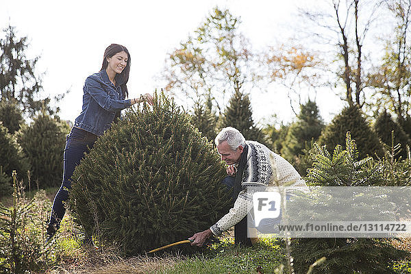 Man with granddaughter cutting pine tree in farm