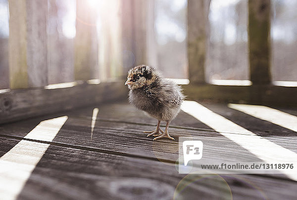 High angle view of baby chicken standing on wooden floorboard