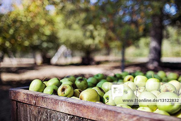 Granny schmiedet Äpfel in Kisten im Obstgarten