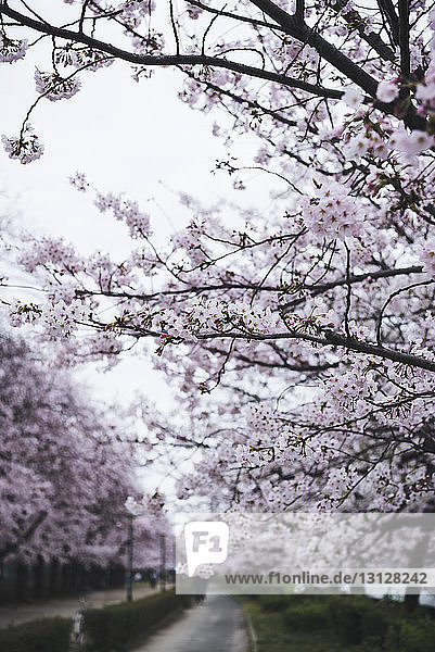 Kirschblüte blüht auf Zweigen im Park