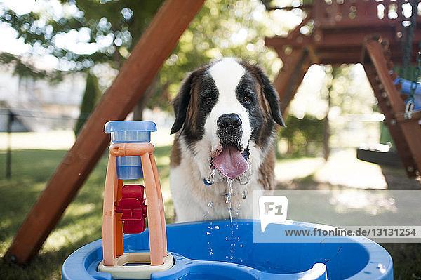 Porträt von Hundetrinkwasser aus Behälter auf dem Spielplatz Porträt von Hundetrinkwasser aus Behälter auf dem Spielplatz