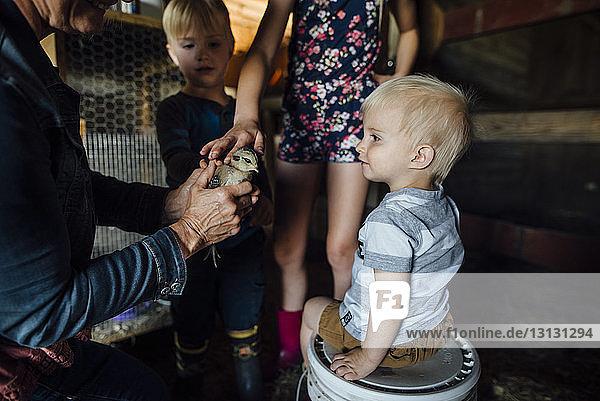 Mitten in der Großmutter  die den Enkelkindern im Stall ein Küken zeigt