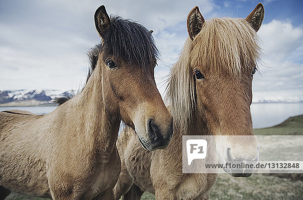 Portrait of Icelandic horses on field