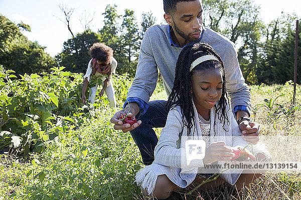 Vater und Tochter sammeln an einem sonnigen Tag rote Chilis auf dem Bauernhof