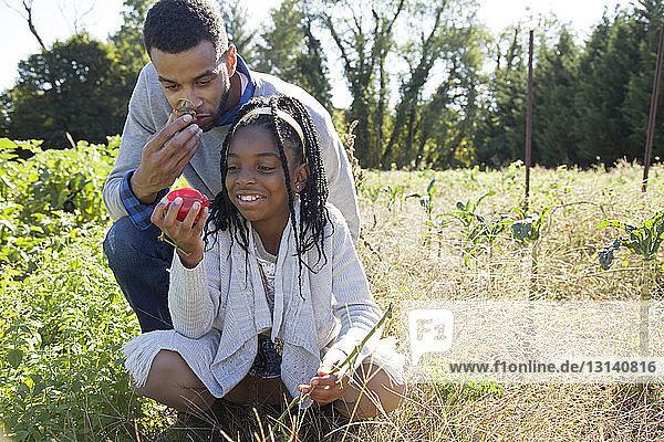Tochter und Vater sammeln an einem sonnigen Tag Paprika auf einem Biohof