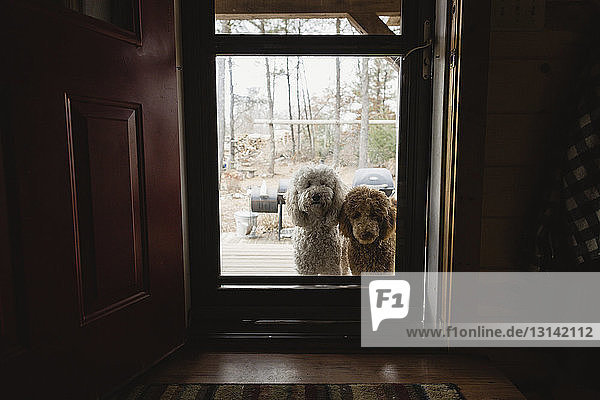 Porträt von Labradoodles durch geschlossene Glastür gesehen Porträt von Labradoodles durch geschlossene Glastür gesehen