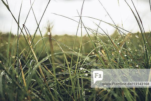 Nahaufnahme von nassem Gras auf Feld gegen Himmel