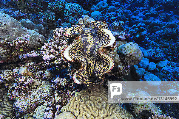 Underwater view of Tridacna maxima (giant clam) at Palmerston Atoll  Cook Islands