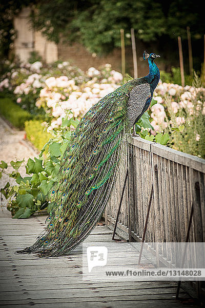 Peacock sitting on wooden fence