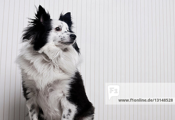 Portrait of a border collie mix