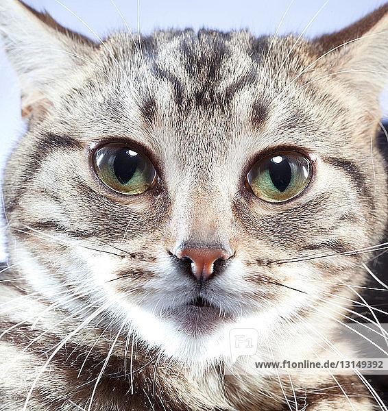Portrait of cat  close up