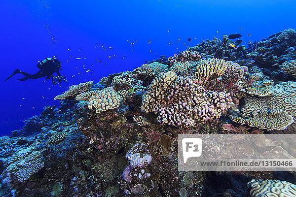 Underwater view of scuba diver photographing coral reef at Palmerston Atoll  Cook Islands