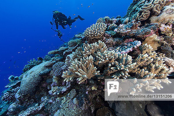 Underwater photographer photographing coral reef at Palmerston Atoll  Cook Islands