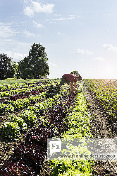 Farmer harvesting variety of lettuce in organic farm