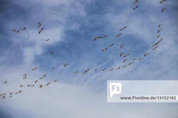 Flock of birds in flight  Cagliari  Sardinia  Italy