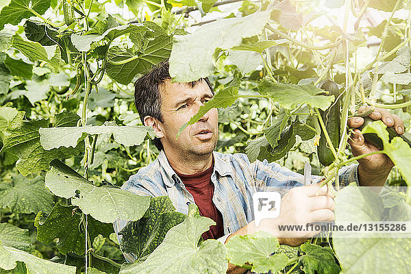 Farmer harvesting cucumber in organic farm