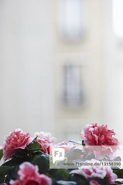 Close up azalea plant blossoms on window sill