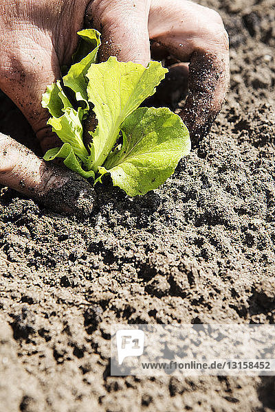 Farmer planting seedling in soil