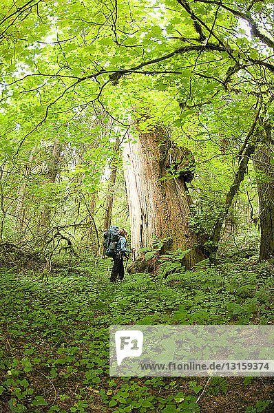 Woman admiring large cedar tree in forest  Chilliwack River Valley  North Cascades National Park  WA  USA