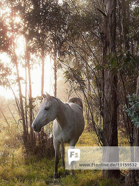 Criollo horse in forest  Uruguay