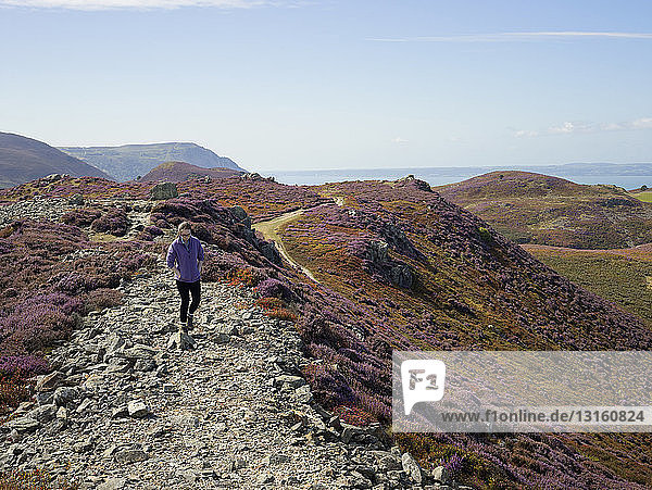 Walker in heather landscape  Conwy Mountain  North Wales