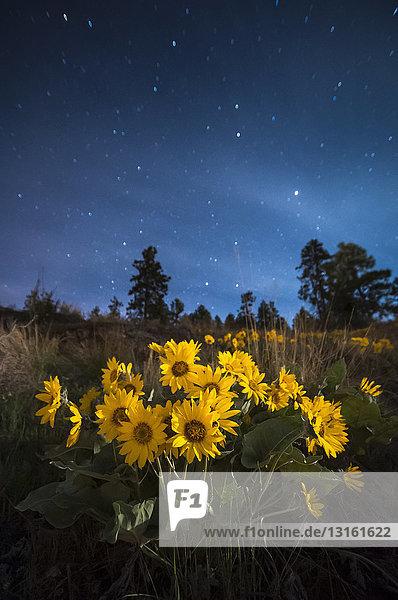 Pfeilblatt-Balsamwurzelblüten bei Nacht  Naramata  Britisch-Kolumbien  Kanada
