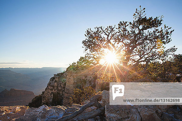 View of tree perched on the edge of Grand Canyon  Arizona  USA