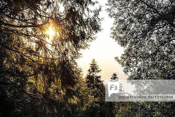 Blick auf silhouettierten Bergwald bei Sonnenuntergang  Palomar  Kalifornien  USA