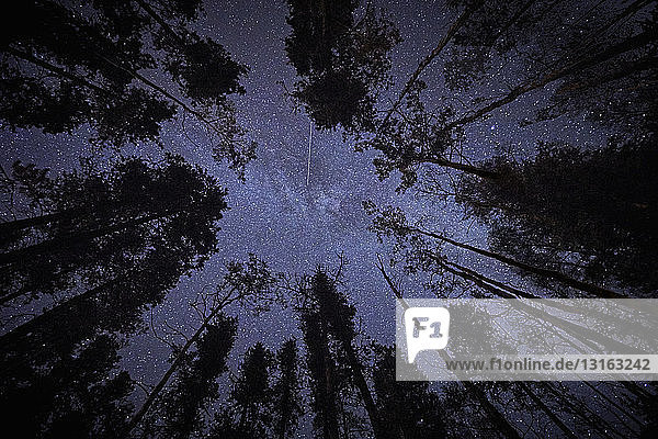Tall trees and starry night sky  upward view  Jasper  Alberta  Canada