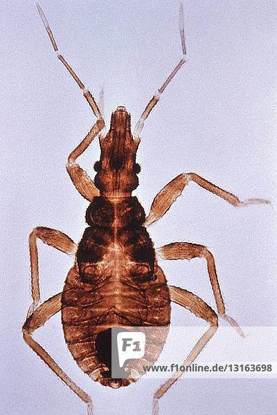 Kissing Bug ein Vektor für die Chagas-Krankheit