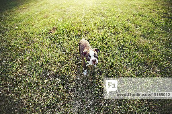 Hochwinkelansicht eines Boston-Terrier-Welpen auf Gras  der in die Kamera schaut