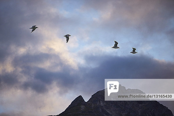 Four silhouetted birds flying over mountain  Haines  Alaska  USA