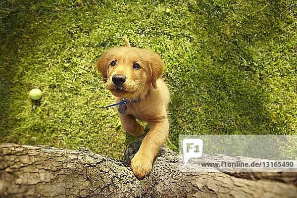 Draufsicht neugieriger Welpe auf Hinterbeinen mit Blick auf den Baumstamm