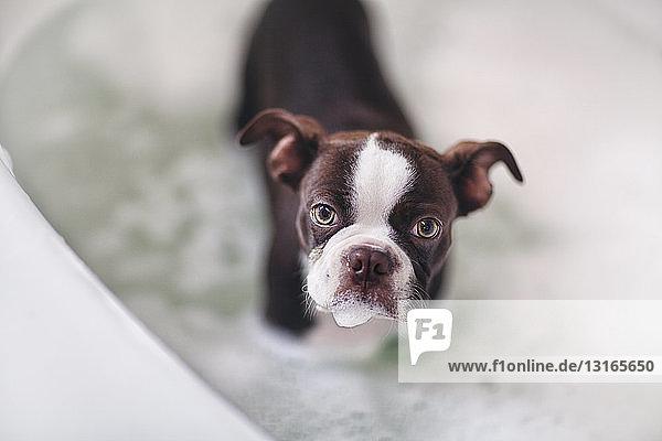 Boston-Terrier-Welpe steht in der Badewanne im Wasser und schaut in die Kamera