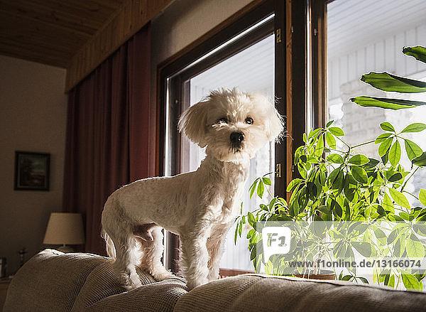 Coton de tulear dog standing on back of sofa