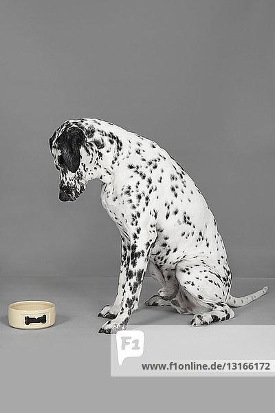 Studio portrait of dalmatian dog staring at empty dog bowl